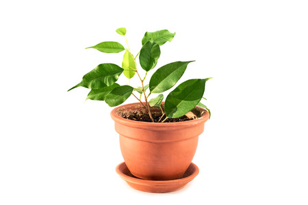 pipal: Ficus benjamina flower plant in ceramic pot isolated on white background