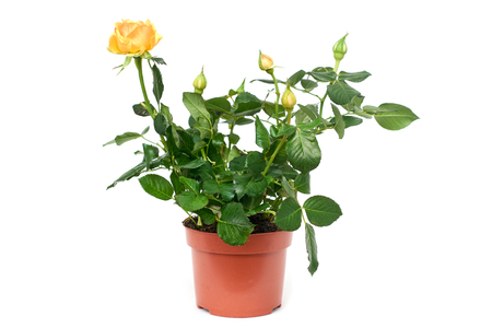 Yellow flowering rose pant in brown plastic pot isolated on white background