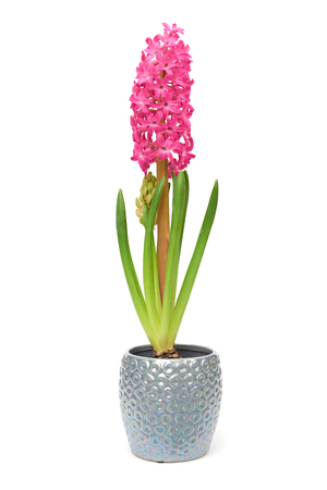 Pink Hyacinth pot isolated on white background