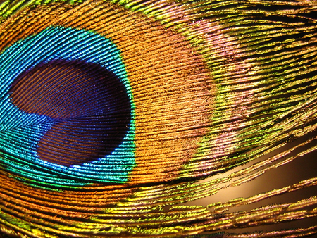 Peacock feather colorful macro close up