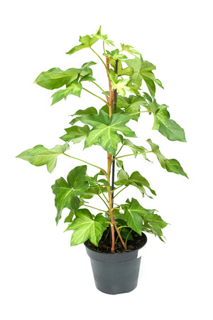 Fatshedera plant flower in plastic pot green isolated on white background