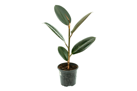 Ficus elastica flower plant in pot isolated on white background