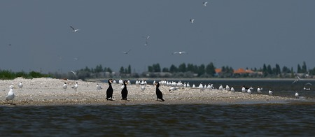 Cormorants and pelicans fish and rest in the Danube Reserve in the Black Sea near the cane Stock Photo