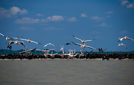 Pelicans and cormorants in the mouth of the Danube, where the river flows into the Black Sea against a blue sky with white clouds in Ukraine