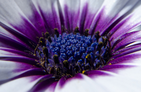 White flower with blue textured core surrounded by yellow pollen and a bright purple circle in garden