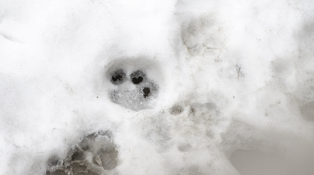 Traces of Tiger on the white snow in winter. Action wildlife scene 版權商用圖片