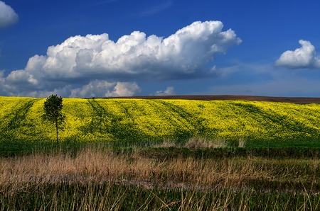 A traditional Ukrainian yellow-and-blue landscape of yellow field and blue sky with clouds, brown earth, yellow flowers, blue sunny sky