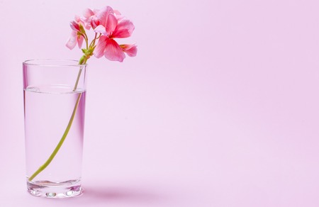 A geranium flower of coral color stands in a glass beaker with clear water against a background of a delicate coral color. Close-up