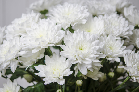 Large bouquet of white chrysanthemums with green stalks stands against a white wooden wall