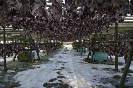 A lot of big fish is dried on wooden supports under the open sky
