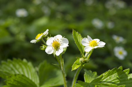 Flowers of a young spring strawberry on a background of green leaves under beams of the sun. Close Up Фото со стока - 123549707