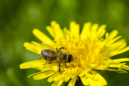 The bee collects the yellow nectar on the legs from the yellow dandelion. Close-ups Фото со стока - 123549714
