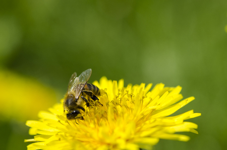 The bee collects the yellow nectar on the legs from the yellow dandelion. Close-ups