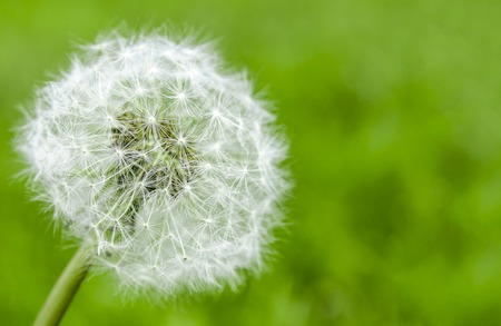 dandelion flower with seeds ball close up in blue bright turquoise background horizontal view amid green grass close-up Фото со стока