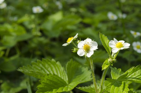 Flowers of a young spring strawberry on a background of green leaves under beams of the sun. Close Up Фото со стока