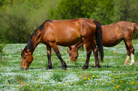 Two Brown horses stand on a green flower meadow amid the green forests and are looking in opposite directions
