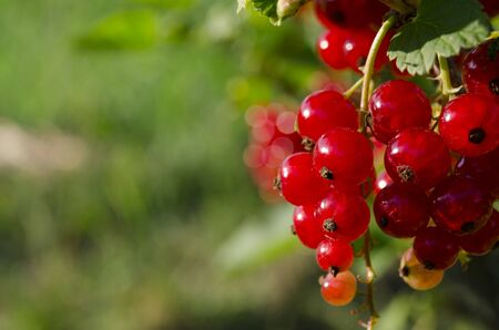 A bunch of redcurrant berries grow on a green bush under the sun's rays. Close-up 写真素材