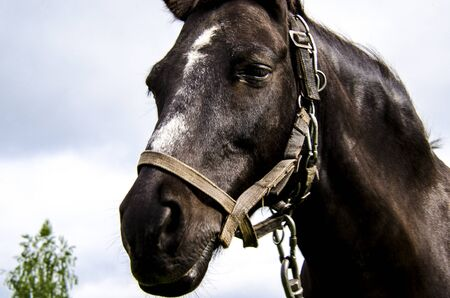 The head of a black horse with a white spot on his forehead in a harness against the sky. Close-up