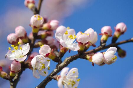 Delicate pink flowers of a young apricot on a branch against a blue sky