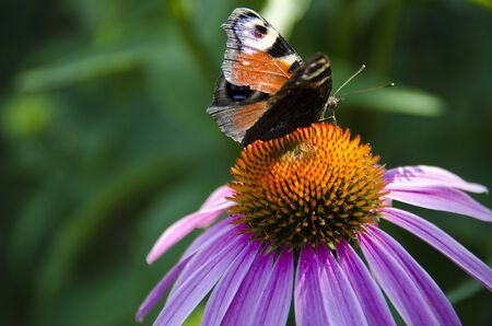 A brown butterfly sits on a bright echinacea flower. Close-up