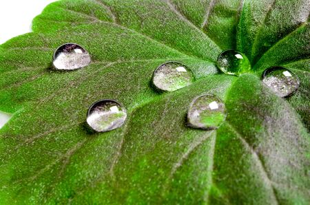 Large beautiful drops of transparent rain water on a green leaf macro. Drops of dew in the morning glow in the sun. Beautiful leaf texture in nature. Natural background