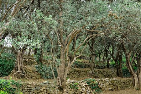 Old olive trees grow on stone slopes Stockfoto