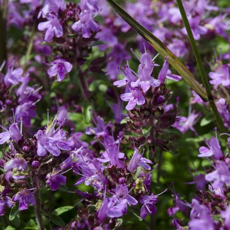 Medicinal herbs: purple flowers of thyme grass under the rays of the sun. Close-up Фото со стока