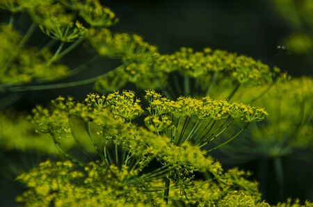 Green umbrellas of dill flowers grow in the summer garden. Close-up