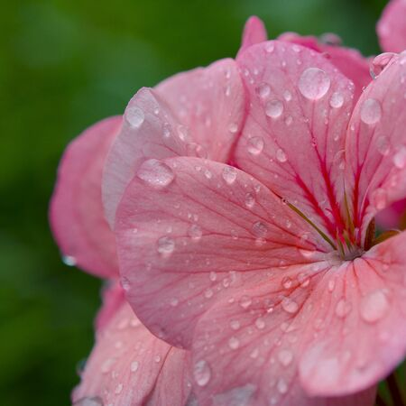 Pink geranium flower with raindrops on the petals. Close-up