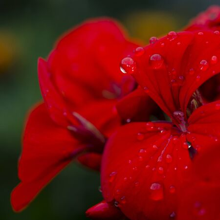 red geranium flower with raindrops on the petals. Close-up