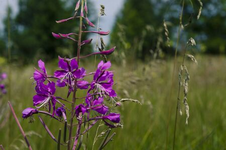 Medicinal plant: Epilobium Species, Blooming Sally, Fireweed, Great Willowherb, Rosebay Willow - tea like herb with beautiful pink flower and very useful herb for the human. Forest and garden herbs Stock Photo