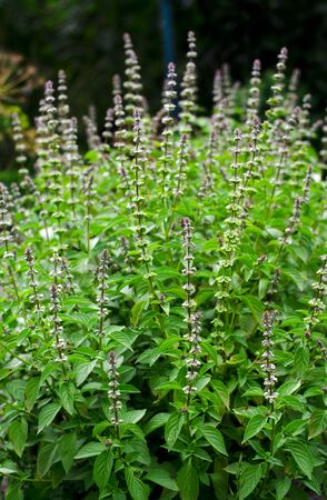 A fresh bush of green basil with flowers grows in the summer garden. Close-up Фото со стока