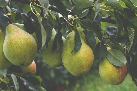 Large juicy pears grow on a branch in the summer garden. Close-up Stockfoto