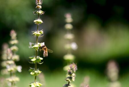 A bee in the garden collects nectar from the flowers of green basil. Close-up