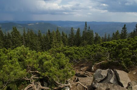 The thickets of wild mountain pine grow on the stone top of the mountain against the backdrop of high mountain forests and blue stormy sky Stockfoto - 130072117