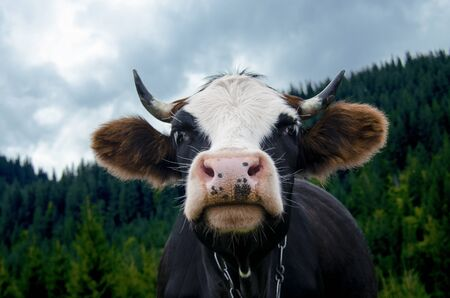 The head of a young cow with a pink nose against the backdrop of the mountains and the blue sky