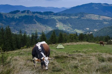 A young multi-coloured cow grazes on a meadow high in the mountains, next to a tourist tent against the backdrop of a forest and a mountain range