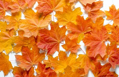 Yellow maple leaves lie on a white tree table. Background close-up