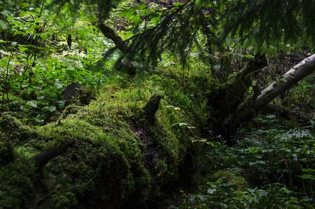 Green moss and green plants grow in a wild forest on an old fallen tree. Ecology