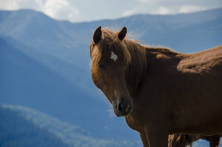A wild horse looks into the distance against the mountain peaks of the Chornogorsk Ridge of the Carpathian Mountains Stockfoto - 131551610