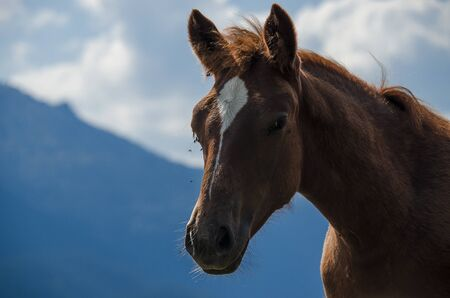 A wild horse looks into the distance against the mountain peaks of the Chornogorsk Ridge of the Carpathian Mountains Stockfoto