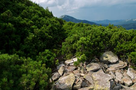 Crest of the mountain range with stone placers covered with green lichens and slopes with spruce forest in Carpathian Mountains at summer day. Huge stones with green lichen lie on top of the mountain  写真素材