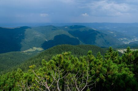 The thickets of wild mountain pine grow on the stone top of the mountain against the backdrop of high mountain forests