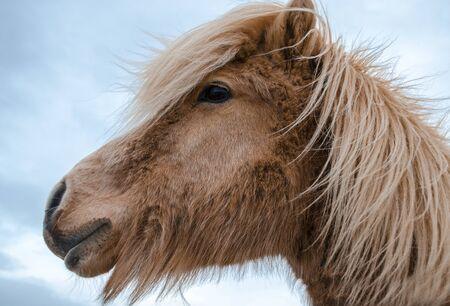Funny and crazy Icelandic horse. the dark blue Icelandic sky