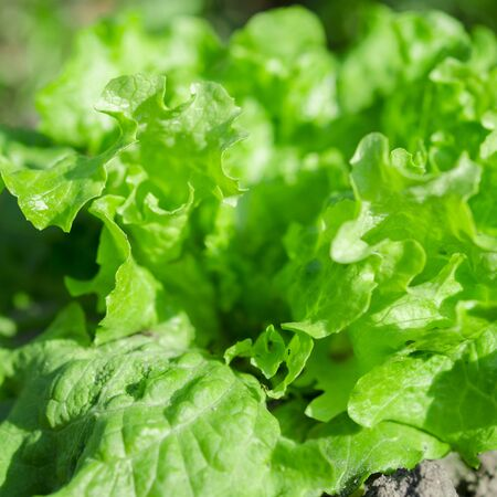 The bush of fresh green salad grows on an open-air bed in the sun. Close-up Stok Fotoğraf