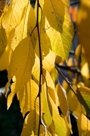 Yellow autumn leaves of cherries on a branch in the sunshine. Autumn Garden