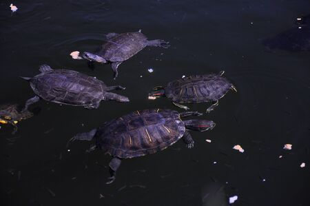 Little wild turtles swim in the lake in a natural environment and eat bread Stock fotó