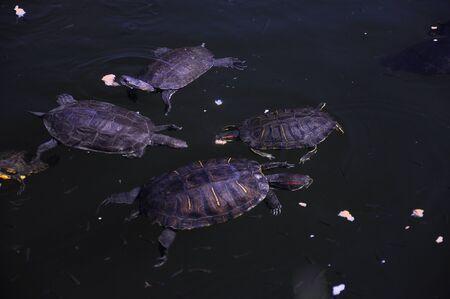 Pequeñas tortugas salvajes nadan en el lago en un entorno natural y comen pan Foto de archivo