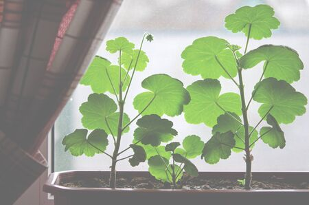 Geranium bushes grow in a pot on the windowsill against the background of the window. Close-up