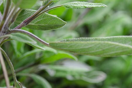 Medicinal plants and condiments: young sage leaves close-up. Фото со стока